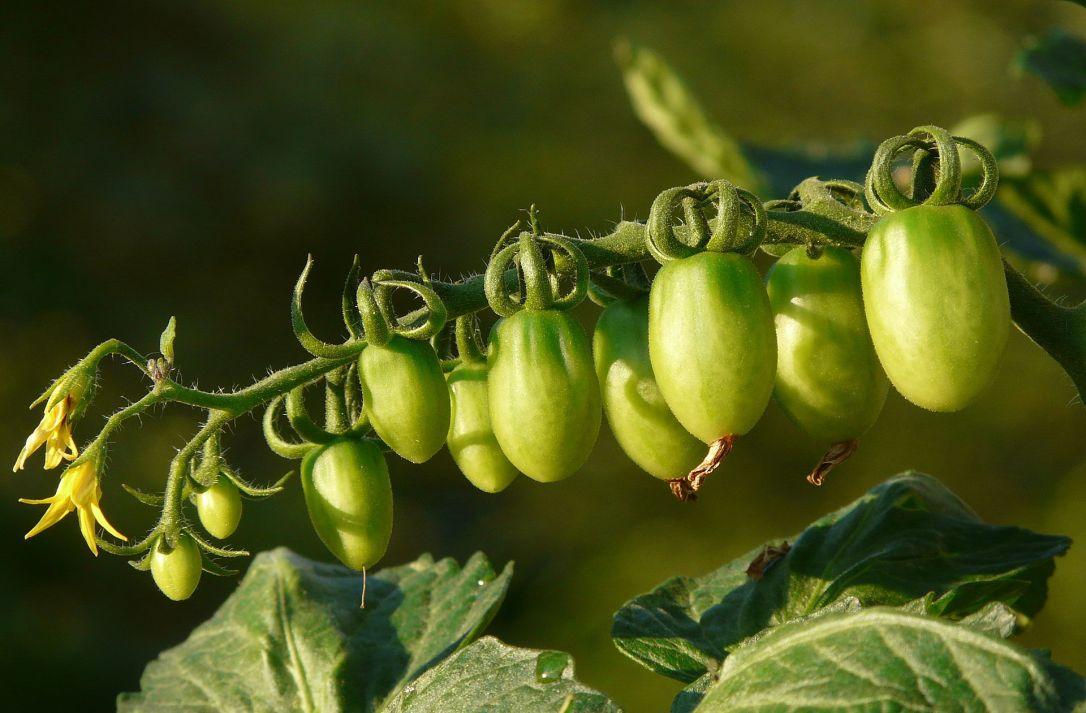 Unripe_tomatoes